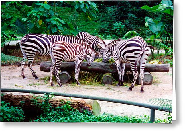Wilderbeast Greeting Cards - Zebras Feeding Time Greeting Card by Kim Magee  Photography