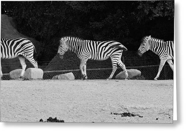 Zoology Greeting Cards - Zebras Greeting Card by FL collection