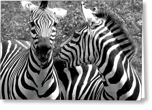 Zebras In Black And White Greeting Card by Susan Lafleur