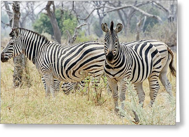 Zebra Canvas Art Prints Greeting Cards - Zebras Greeting Card by Robert Shard