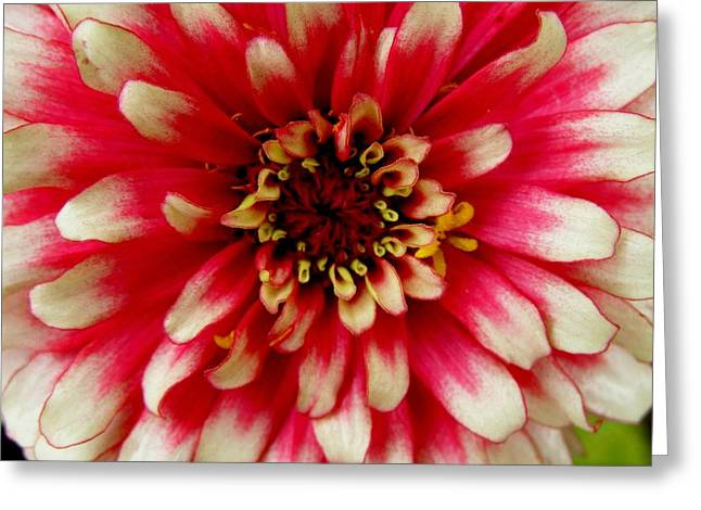 Zinna Greeting Cards - Zinna Closeup Greeting Card by Jeanette Oberholtzer