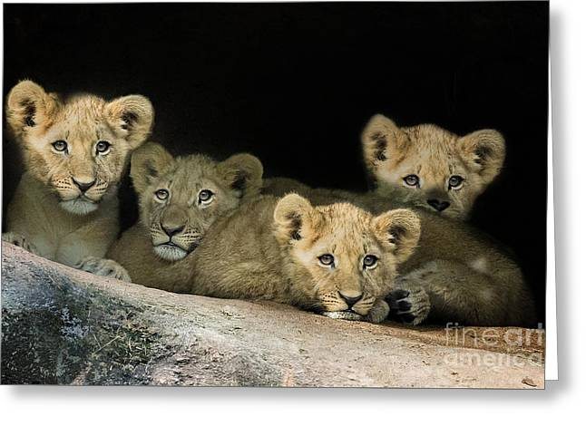 Lioness Greeting Cards - Zoo Atlanta Cubs Greeting Card by Linda D Lester