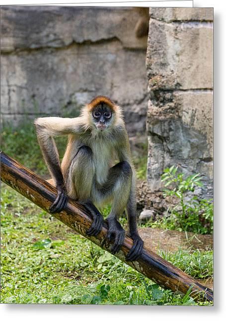 Audubon Zoo Greeting Cards - Zoo Monkey Greeting Card by Allan Morrison