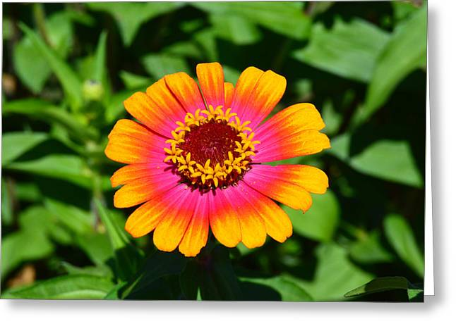Zinnia Elegans Greeting Cards - Flame On Greeting Card by Kathy Kelly
