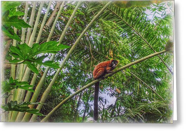 Red-ruffed Lemur Greeting Cards - Zurichs Rainforest Greeting Card by Hanny Heim
