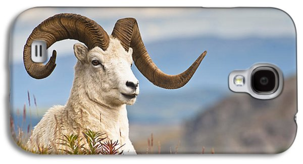 Adult Dall Sheep Ram Resting Galaxy S4 Case by Michael Jones