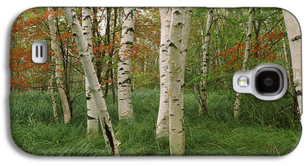 Garden Scene Galaxy S4 Cases - Downy Birch Betula Pubescens Trees Galaxy S4 Case by Panoramic Images