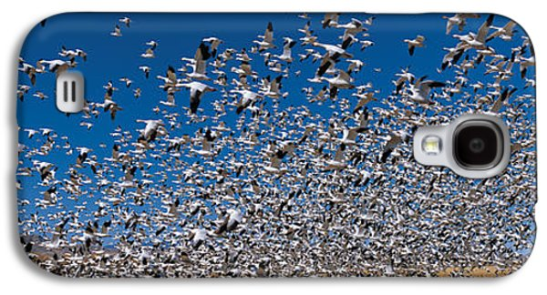 Wildlife Refuge. Galaxy S4 Cases - Flock Of Snow Geese Chen Caerulescens Galaxy S4 Case by Panoramic Images