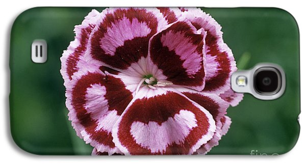 Pink Dianthus Becky Robinson Galaxy S4 Case by Archie Young