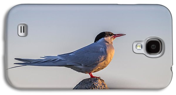 Tern Galaxy S4 Cases - Arctic Terns Sterna Paradisaea, Flatey Galaxy S4 Case by Panoramic Images