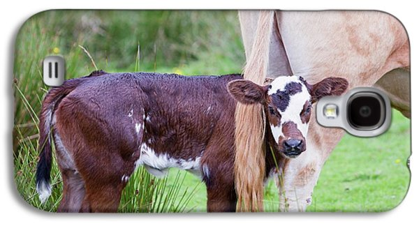 A Cow With A New Born Calf Galaxy S4 Case by Ashley Cooper