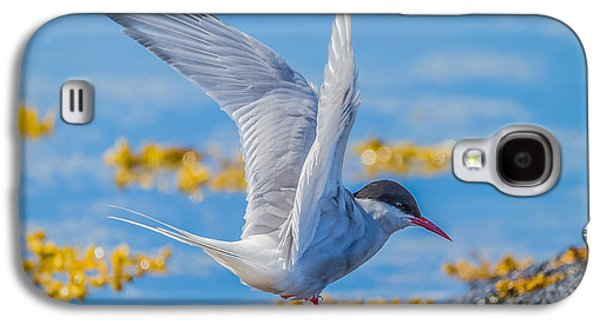 Tern Galaxy S4 Cases - Arctic Tern Sterna Paradisaea, Flatey Galaxy S4 Case by Panoramic Images