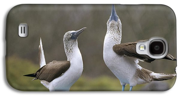 Wildlife Celebration Galaxy S4 Cases - Blue-footed Boobies Courting Galapagos Galaxy S4 Case by Tui De Roy