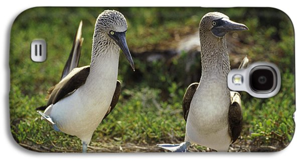 Wildlife Celebration Galaxy S4 Cases - Blue-footed Booby Pair In Courtship Galaxy S4 Case by Tui De Roy