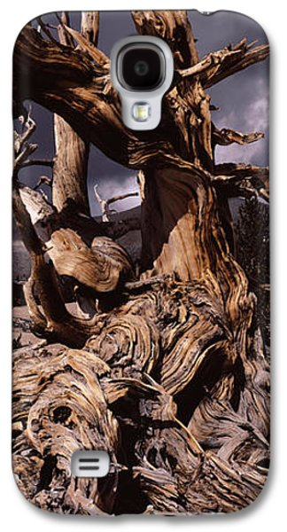 Tree Roots Photographs Galaxy S4 Cases - Bristlecone Pine Tree Pinus Longaeva Galaxy S4 Case by Panoramic Images