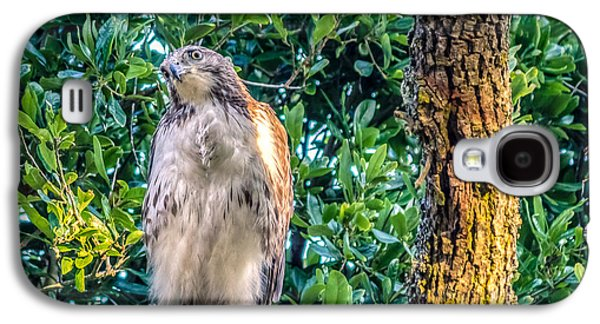 Preditor Galaxy S4 Cases - Buteo jamaicensis on Quercus virginiana Galaxy S4 Case by Rob Sellers