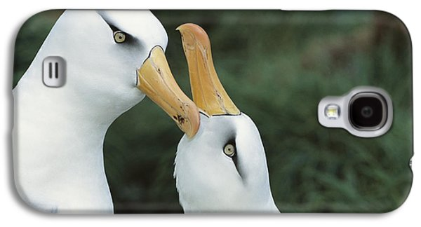 Wildlife Celebration Galaxy S4 Cases - Campbell Albatrosses Courting Campbell Galaxy S4 Case by Tui De Roy