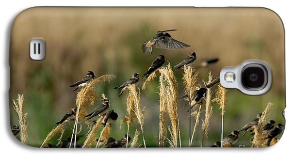 Hirundo Galaxy S4 Cases - Cliff Swallows Perched On Grasses Galaxy S4 Case by Anthony Mercieca