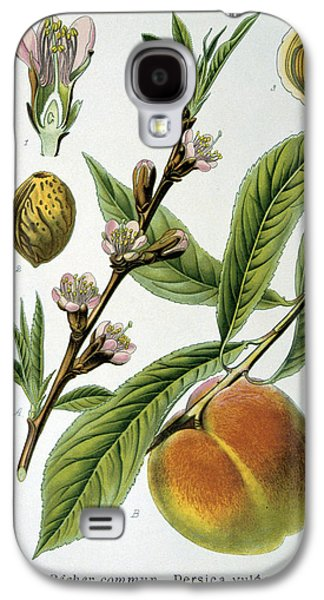 Peaches Drawings Galaxy S4 Cases - Common Peace Persica Vulgaris Galaxy S4 Case by Anonymous