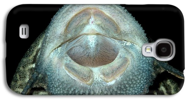 Common Pleco Or Suckermouth Catfish Galaxy S4 Case by Nigel Downer