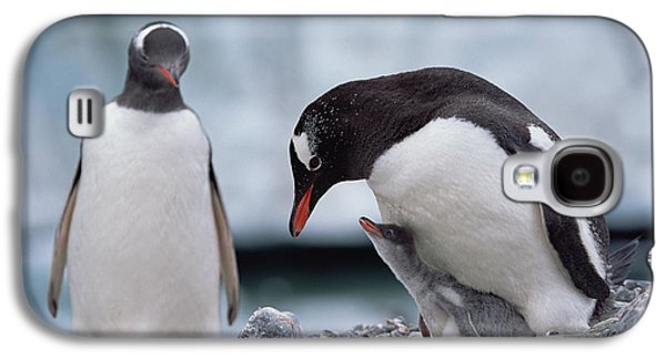 Three Chicks Galaxy S4 Cases - Gentoo Penguin With Chick Begging Galaxy S4 Case by Konrad Wothe