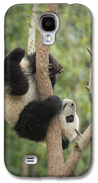Giant Panda Cub In Tree Chengdu Sichuan Galaxy S4 Case by Katherine Feng