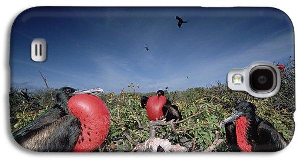 Wildlife Celebration Galaxy S4 Cases - Great Frigatebird Males In Courtship Galaxy S4 Case by Tui De Roy