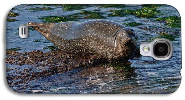 Ocean Mammals Galaxy S4 Cases - Harbor Seal At Low Tide Galaxy S4 Case by Anthony Mercieca