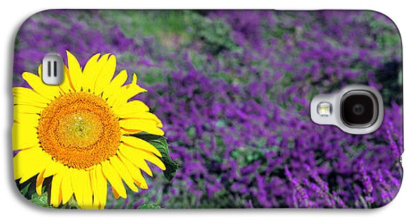 Sunflower Field Galaxy S4 Cases - Lone Sunflower In Lavender Field, France Galaxy S4 Case by Panoramic Images
