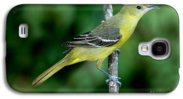 Wild Orchards Galaxy S4 Cases - Orchard Oriole Icterus Spurius Female Galaxy S4 Case by Anthony Mercieca