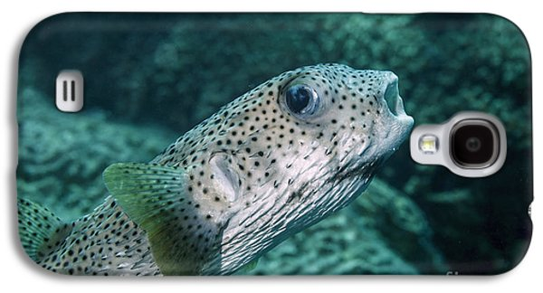 Porcupine Fish Galaxy S4 Cases - Porcupinefish Galaxy S4 Case by V Devolder