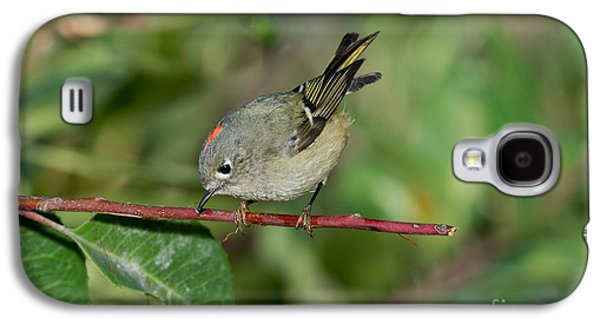 Us Wildllife Galaxy S4 Cases - Ruby-crowned Kinglet Showing Crown Galaxy S4 Case by Anthony Mercieca