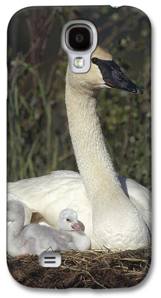Three Chicks Galaxy S4 Cases - Trumpeter Swan On Nest With Chicks Galaxy S4 Case by Michael Quinton