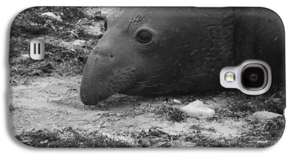 Ano Nuevo Galaxy S4 Cases - Young Elephant Seal Bull Galaxy S4 Case by Gwendolyn Barnhart
