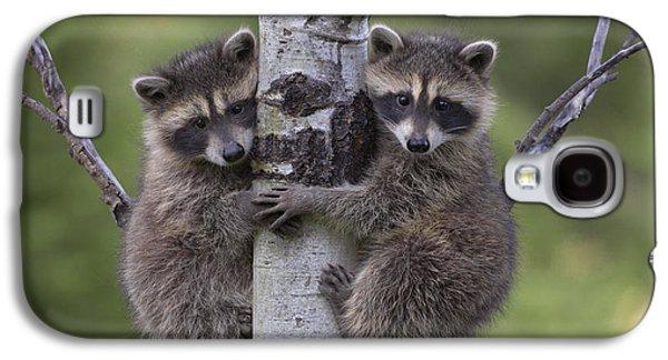 Climbing Galaxy S4 Cases - Raccoon Two Babies Climbing Tree North Galaxy S4 Case by Tim Fitzharris
