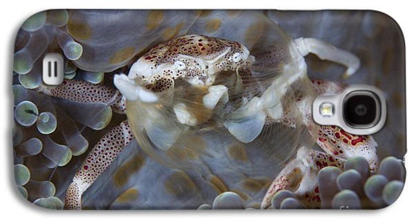 Plankton Galaxy S4 Cases - Spotted Porcelain Crab Feeding Galaxy S4 Case by Steve Jones