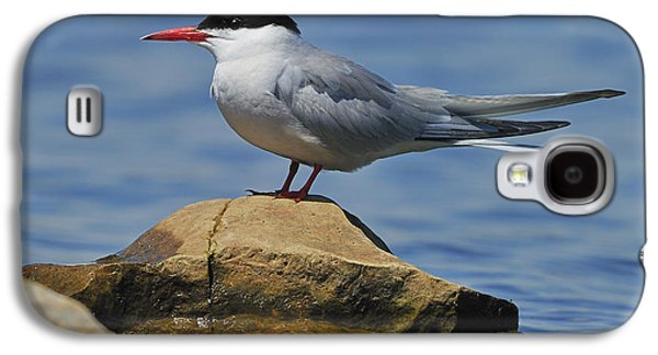 Hirundo Galaxy S4 Cases - Adult Common Tern Galaxy S4 Case by Tony Beck