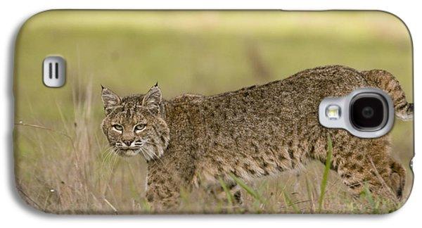Lynx Rufus Galaxy S4 Cases - Bobcat Female Walking Santa Cruz Galaxy S4 Case by Sebastian Kennerknecht