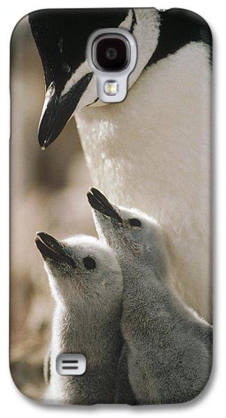 Three Chicks Galaxy S4 Cases - Chinstrap Penguin Pygoscelis Antarctica Galaxy S4 Case by Tui De Roy