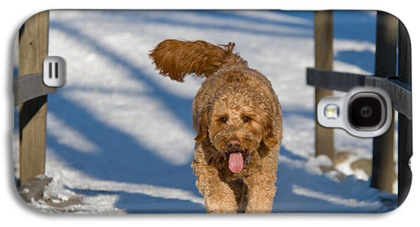 Dog Trots Galaxy S4 Cases - Golden Doodle in the snow Galaxy S4 Case by Tom Biegalski