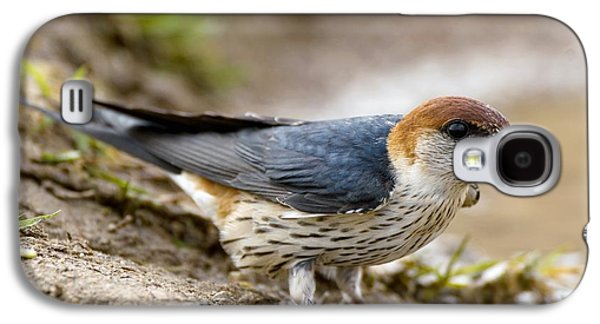 Mud Nest Galaxy S4 Cases - Greater Striped Swallow Galaxy S4 Case by Peter Chadwick