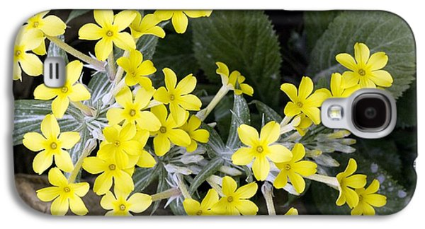 Northern Africa Galaxy S4 Cases - Primula Verticillata Flowers Galaxy S4 Case by Bob Gibbons