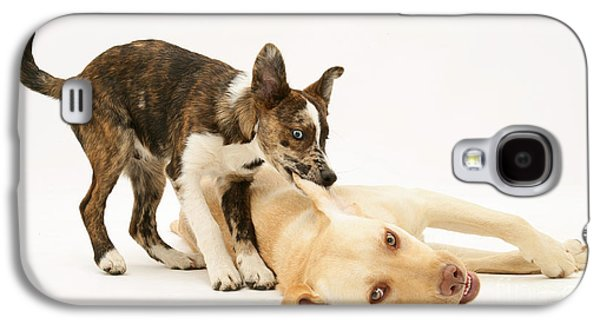 Mixed Labrador Retriever Galaxy S4 Cases - Pup Biting Lab On The Ear Galaxy S4 Case by Mark Taylor