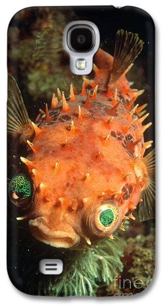 Porcupine Fish Galaxy S4 Cases - Rounded Porcupine Fish Galaxy S4 Case by Nature Source