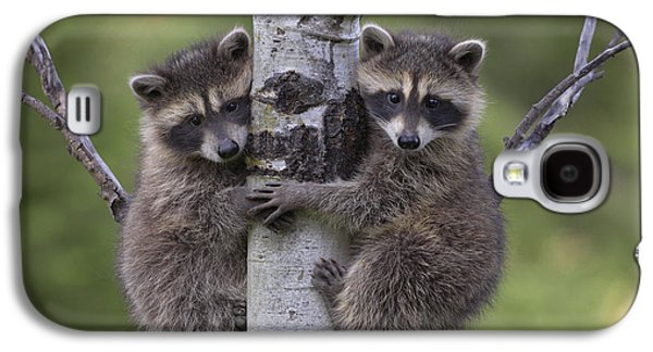 Animals and Earth - Galaxy S4 Cases - Raccoon Two Babies Climbing Tree North Galaxy S4 Case by Tim Fitzharris