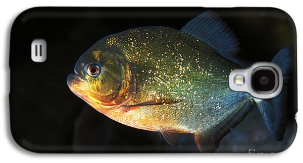 Red Bellied Piranha Galaxy S4 Case by Gerard Lacz
