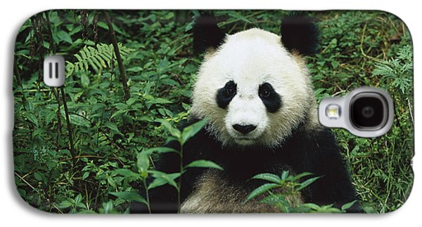The Nature Center Galaxy S4 Cases - Giant Panda Ailuropoda Melanoleuca Galaxy S4 Case by Cyril Ruoso