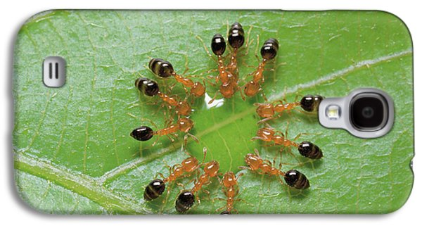 Ants Galaxy S4 Cases - Ant Monomorium Intrudens Group Drinking Galaxy S4 Case by Takashi Shinkai