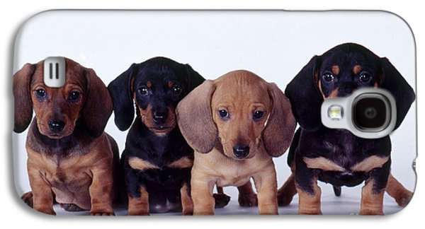 Fauna Photographs Galaxy S4 Cases - Dachshund Puppies  Galaxy S4 Case by Carolyn McKeone and Photo Researchers