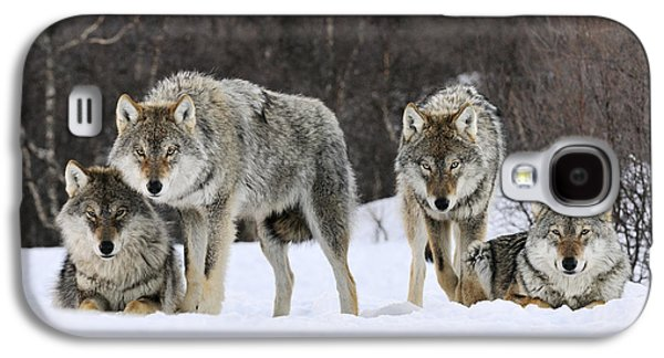 Gray Wolf Canis Lupus Group, Norway Galaxy S4 Case by Jasper Doest
